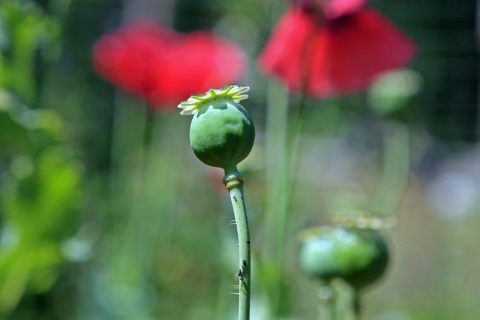 According to Opium.com, more than 75 percent of the world's opium supply comes from Afghanistan. The highly addictive drug  was the catalyst behind a high profile murder in Colonie last year, and is responsible for the growing number of overdose related deaths throughout the Capital District.