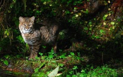 New Scotland couple attacked by rabid bobcat