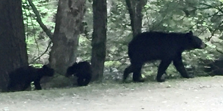 A black bear and her cubs walking near the Ausable Lake Road this summer. (photo by Jim Franco/Spotlightnews)