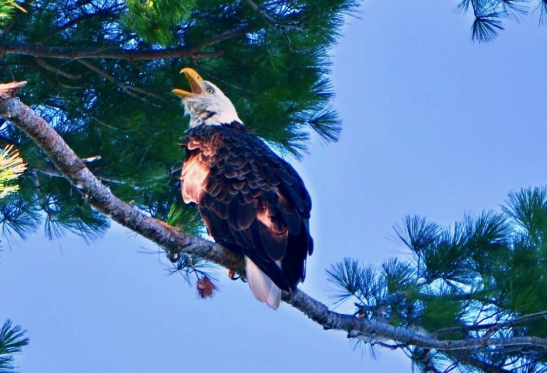 A bald eagle along the Hudson River (Photo submitted by Tony Gambaro)
