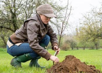 Johanna Batman, executive director of the Shaker Heritage Society, plants a sapling at the apple orchard.  Jim Franco / Spotlight News